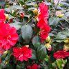 Kamelie rote Blüten Lucca - Kamelienausstellung