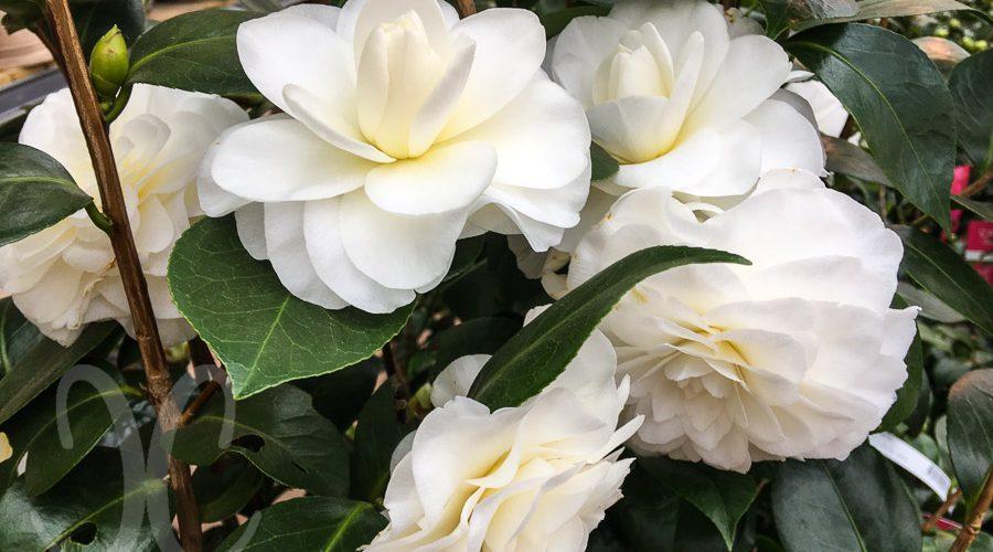Kamelie weiße Blütenpracht - Lucca, Sant'Andrea di Compito