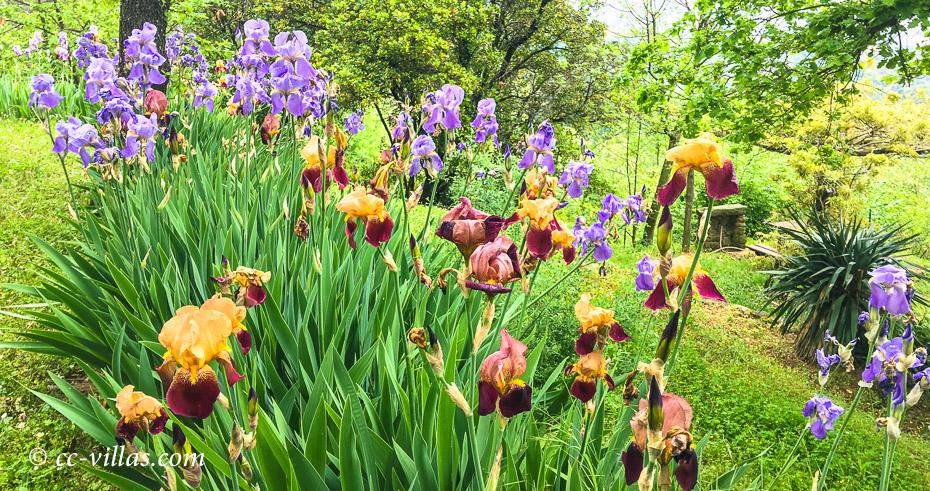 Frühjahr in Italien - Lilien sind ganz typische Toskana Blumen, sie wachsen an d